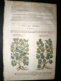 Gerards Herbal 1633 Hand Col Botanical Print. Capers